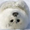 Seal Selkie