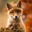 Секретный агент лисёнок